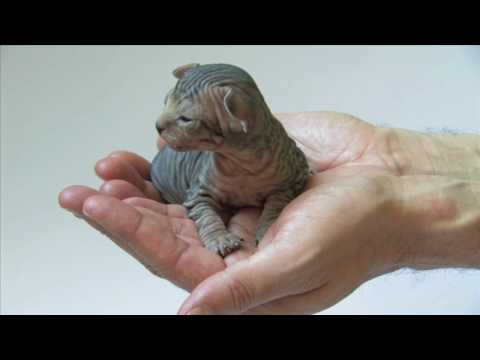 Sphynx kittens playing - sunitha ray sphynx