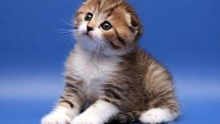 Шотландская вислоухая кошка.( Скоттиш фолд)