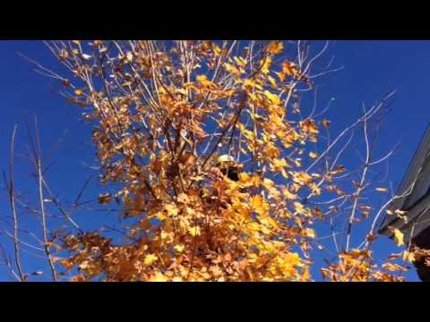 Overdue pruning of sugar maple: Part 1