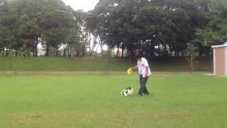 2歳パピヨン ディスクの練習している動画です。投げ方を後半変えて良く...