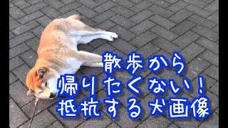 【ジワジワくるw】散歩から帰りたくない!抵抗する犬画像まとめ【癒さ...