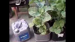 Como fazer Horta em Vasos, Horta Urbana, Horta Caseira