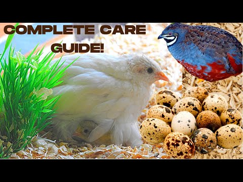 THE ULTIMATE BUTTON QUAIL CARE GUIDE | How to Care for Quail Indoors | Keeping Quail as Pets