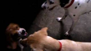 Beagle Vs Labrador And Dalmatian 2