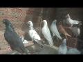My new pigeon setup is ready || kabutar ka naya jaaal tayar