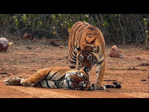 Courting Tigers form a Tight Bond | BBC Earth