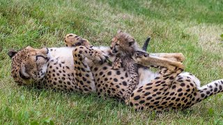 These Newborn Cheetah Cubs Won't Leave Their Exhausted Mom Alone