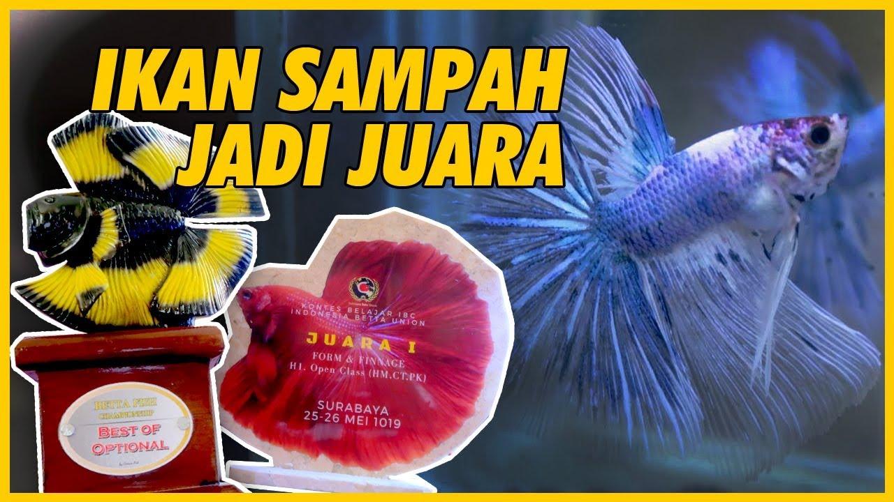 Mempelajari Ikan Cupang Juara Kontes Jenis Plakat Mengacu Pada Penilaian Standart Sni By Tyo Mangkubumie