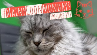 #MaineCoonMondays – Episode 191