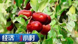《经济半小时》 20191125 枣子红了 戈壁绿了| CCTV财经