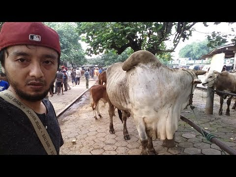 BEST CATTLE MATKET INDONESIA - BIG CATTLE MARKET ASIA