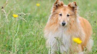 ***Shetland Sheepdog Potty-Training Free-Mini Course***