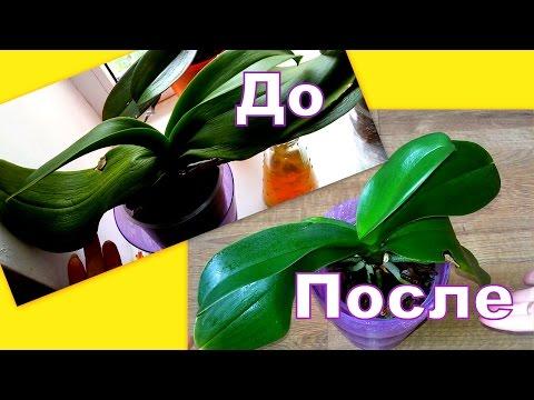 ОРХИДЕИ. Как восстановить тургор? Один из способов
