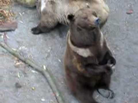 Berne Bear
