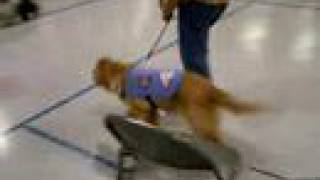 Laci Taking Her Cgc (canine Good Citizen) Test