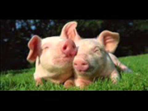 pigs - sound effect - YouTube