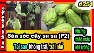 Trồng su su TỐT, tại sao KHÔNG TRÁI trái nhỏ (P2), #251 grow care organic Chayote plant _ SKHT
