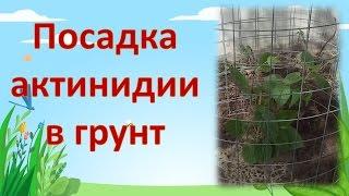 Посадка, уход и выращивание актинидии коломикты