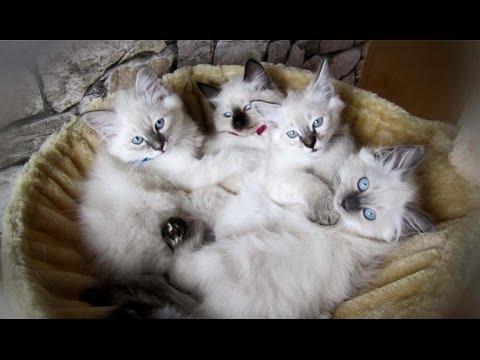 😺 Unsere 4 süßen Heilige Birma Kitten Fenya, Ivy, Shira, Diego 🍪