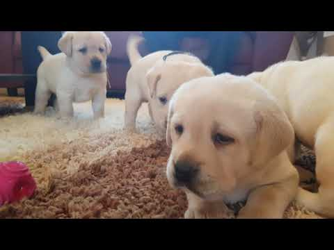 one month old labrador puppies