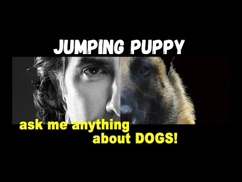 Correcting Puppies for Jumping - Robert Cabral Dog Training - ask me anything