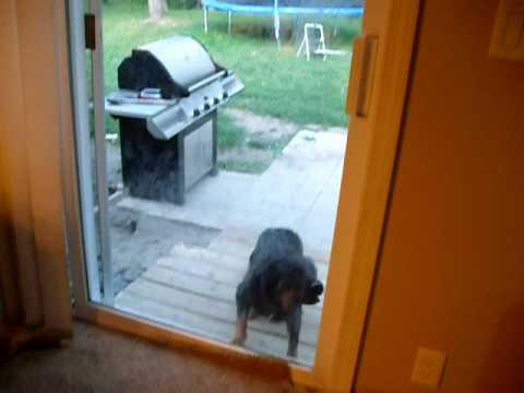 Dog Jumping on Door