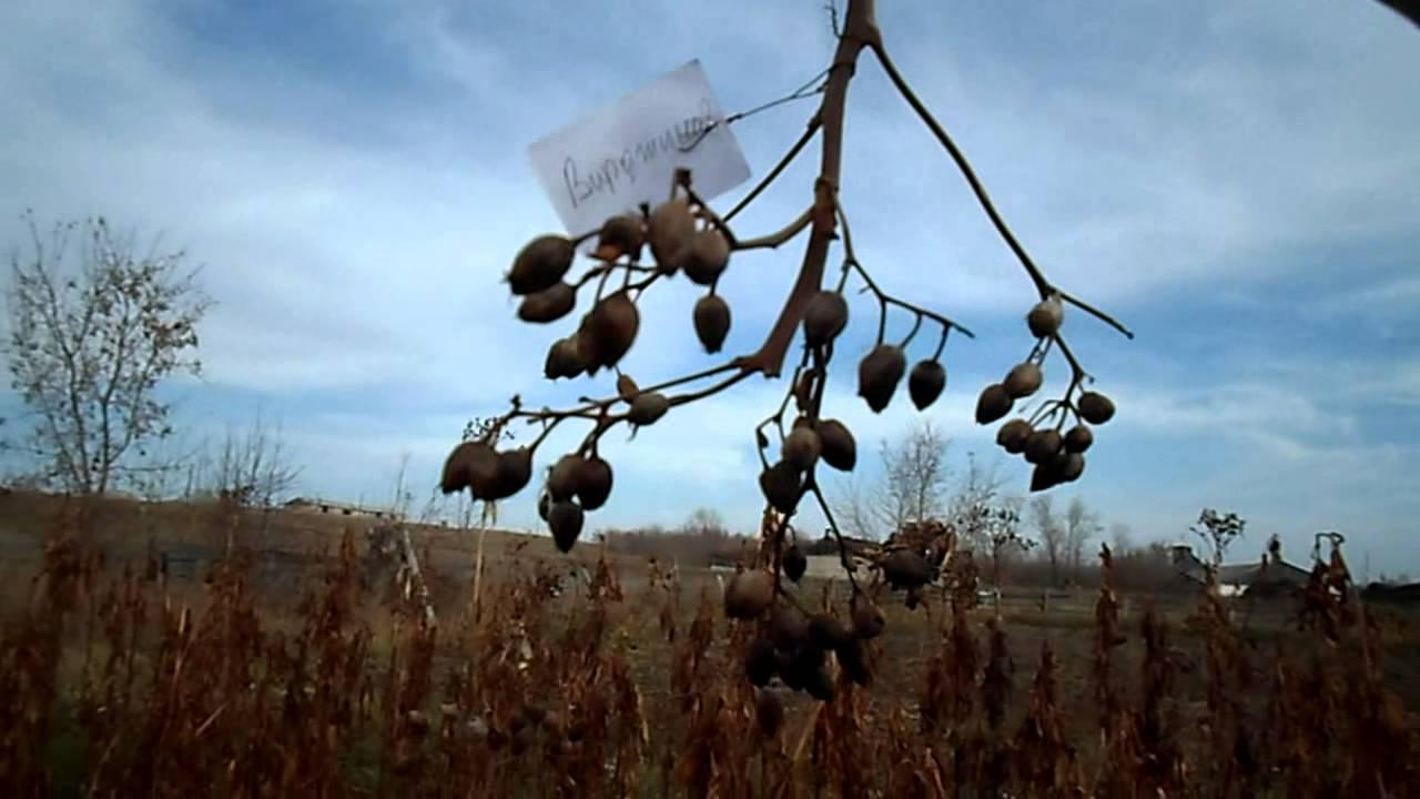 Обзор сорта Virginia Gold/Ger (Вирджиния Голд/Гер) - купить семена .