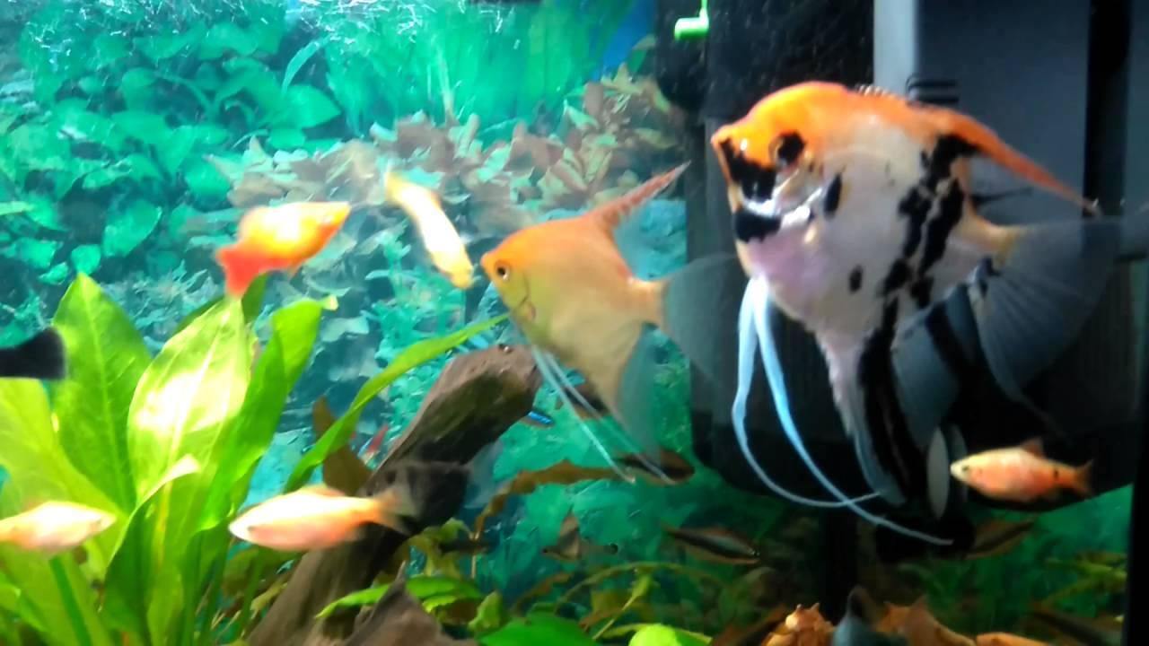 Vörös szem a halban - Gabonafélék Akvárium ryby paraziták