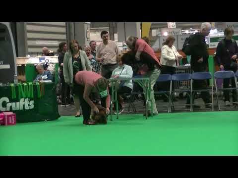 Standard Long Haired Dachshund veteran bith in Crufts 2018