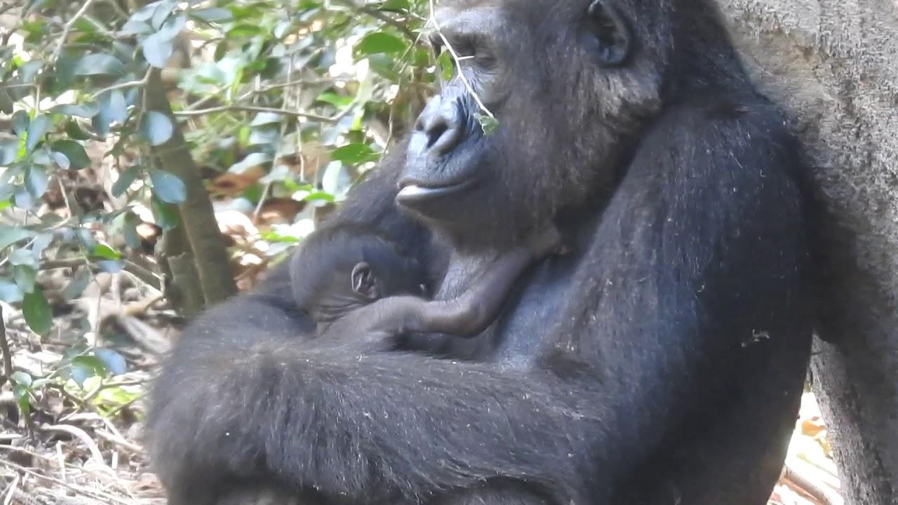 gorilla-girl-shaved-hot-teen-xnxx