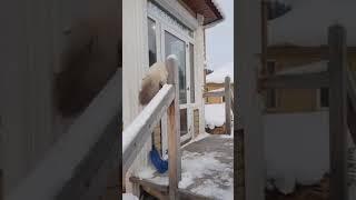 Невская маскарадная,  окрас табби блю поинт. Жар-птица Белокуриха.