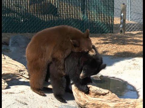 Yellowstone Bear World - Bears at play!