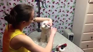 Grooming Teddybear Head Maltese