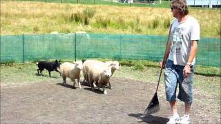 Australian Black Kelpie Herding Sheep In Melbourne