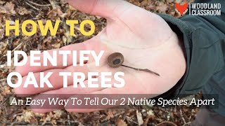 How to Identify Oak Trees: An Easy Way to Tell Our 2 Native Species Apart.