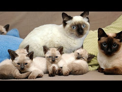 Proud Momma Siamese Cat Giving Birth To Cute Kittens