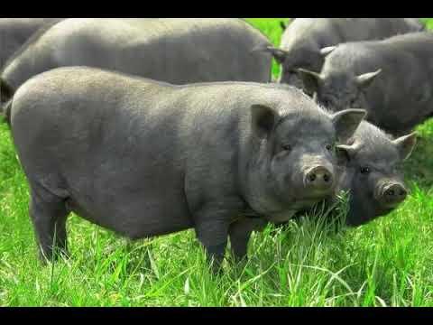 Порода свиней кармалы: описание, особенности в уходе