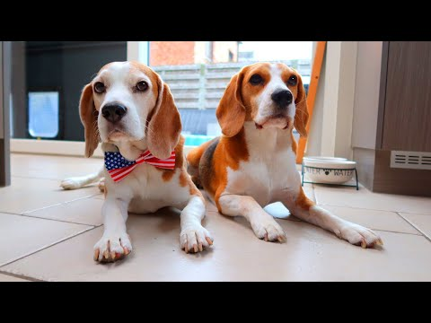 BEST BEAGLES COMPILATION  | Funny Dogs Louie & Marie