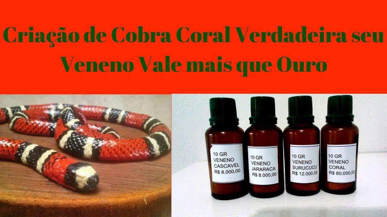 Criação de Cobra Coral Verdadeira seu Veneno Vale mais que Ouro
