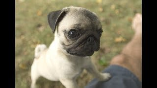 Cute Pug Puppy Jumping  - Trust fall with owner