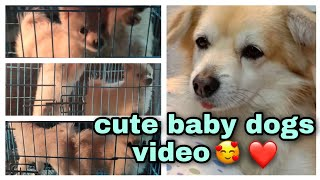 cute baby dogs video❤ #Pet store  #German spitz Dog Breed