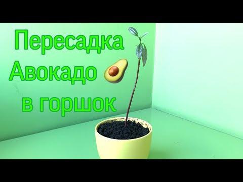 Пересадка авокадо в горшок.