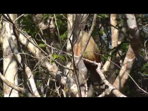 Great Lizard Cuckoo, Cuba, 08 April 13