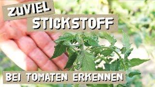 Stickstoffüberschuss erkennen und behandeln bei Tomaten und Gurken