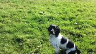 Gundog English Springer Spaniel Training Training Blind Retrieve