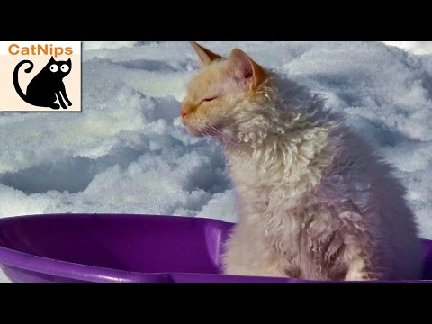 Awesome Cat Rides Down Snowy Hill On Sled | CatNips