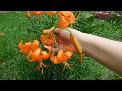 Лилия Кудреватая ! Выращивание в саду !