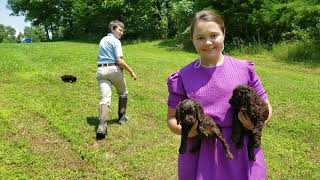 Cavern Kennels  Boykin Spaniels  Miss Piper and HR Rage