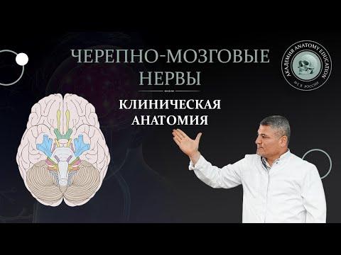 Клиническая анатомия черепно-мозговых и спинномозговых нервов