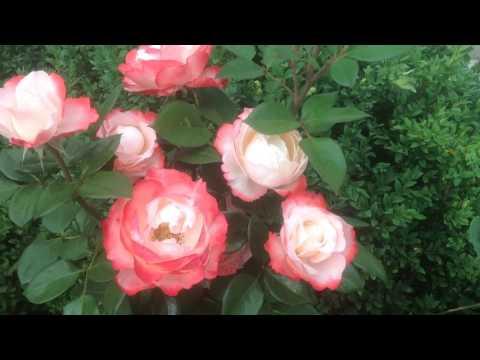 Розарий Роза Aspirin Rose (Tantau, 1997)